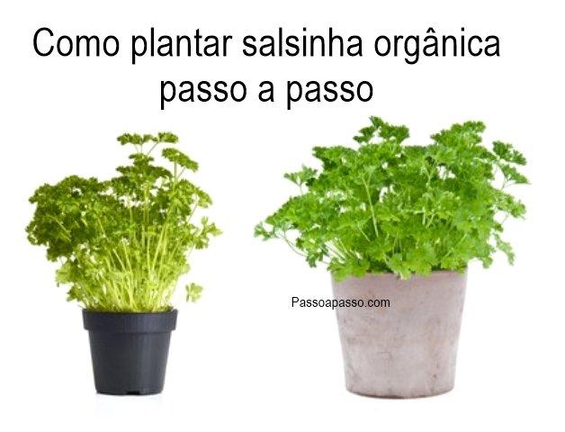 Como plantar salsinha